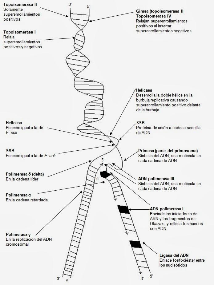 Replicación del ADN en Escherichia coli   Apuntes de Biología Molecular
