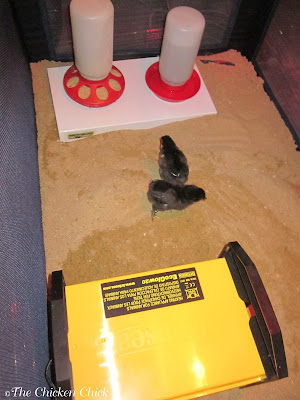 Sand in the chick brooder keeps chicks healthier and allows them to dust bathe, much to their delight