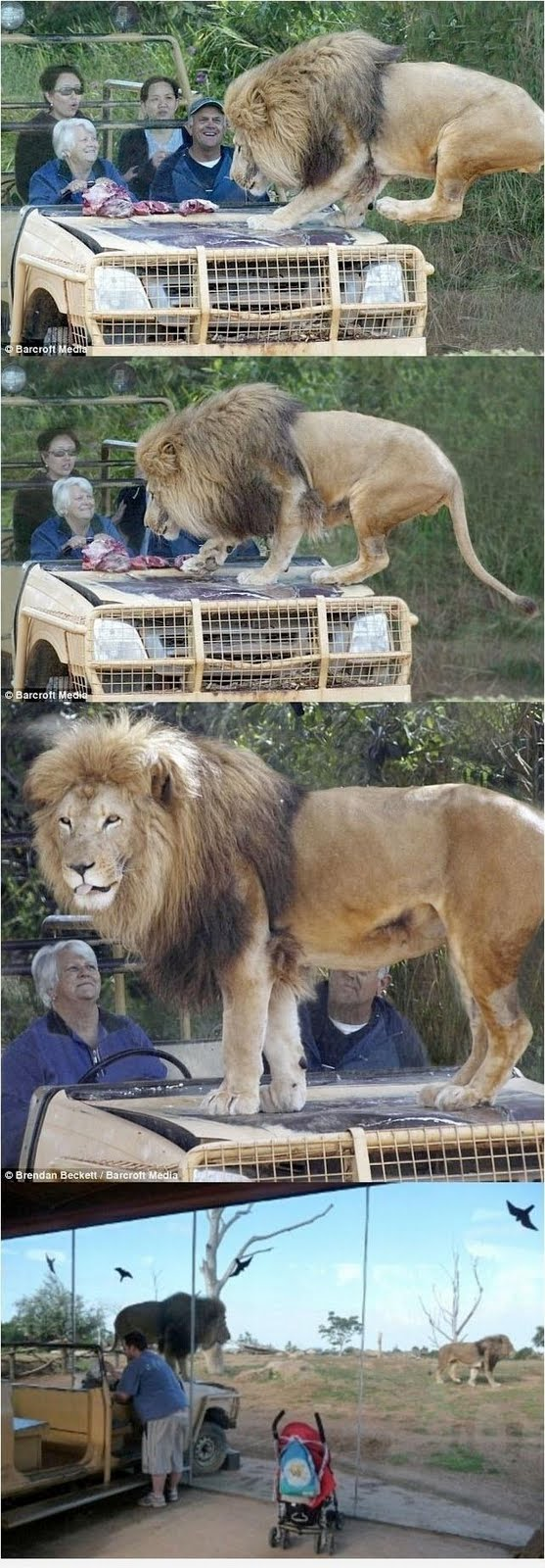 Holy Shit! We Shocked to See the Lion In front of us funny pic