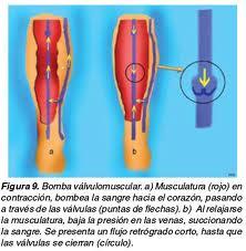 El tratamiento por la nuez de Adán a varikoze