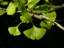Homeopathic remedy GINKGO BILOBA