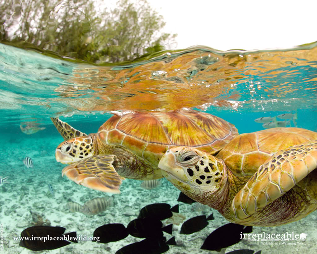 ... the S.E.A - Save Endangered Animals.: Arahis Sea Turtle presentation