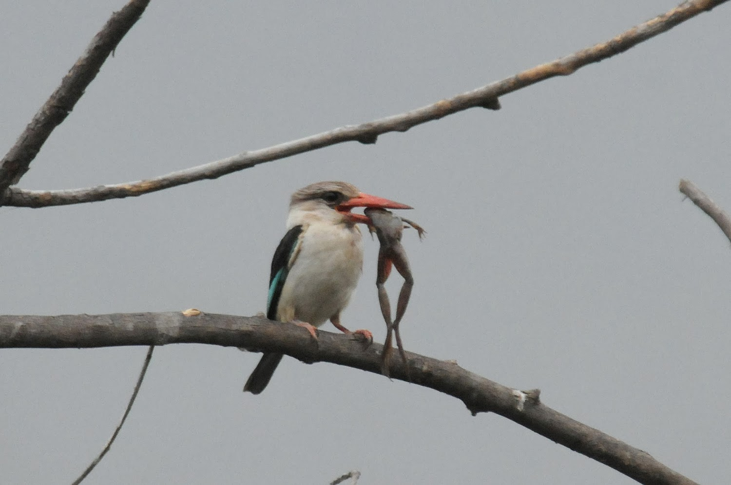 Brown hooded kingfisher - photo#12