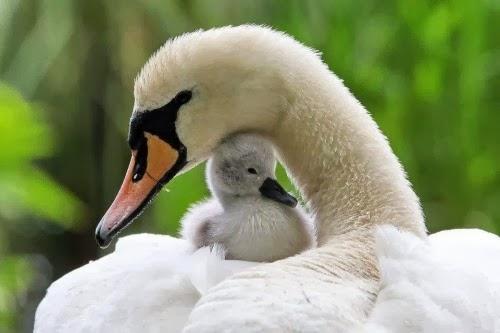 Imagen de un hermoso cisne blanco con su hijo