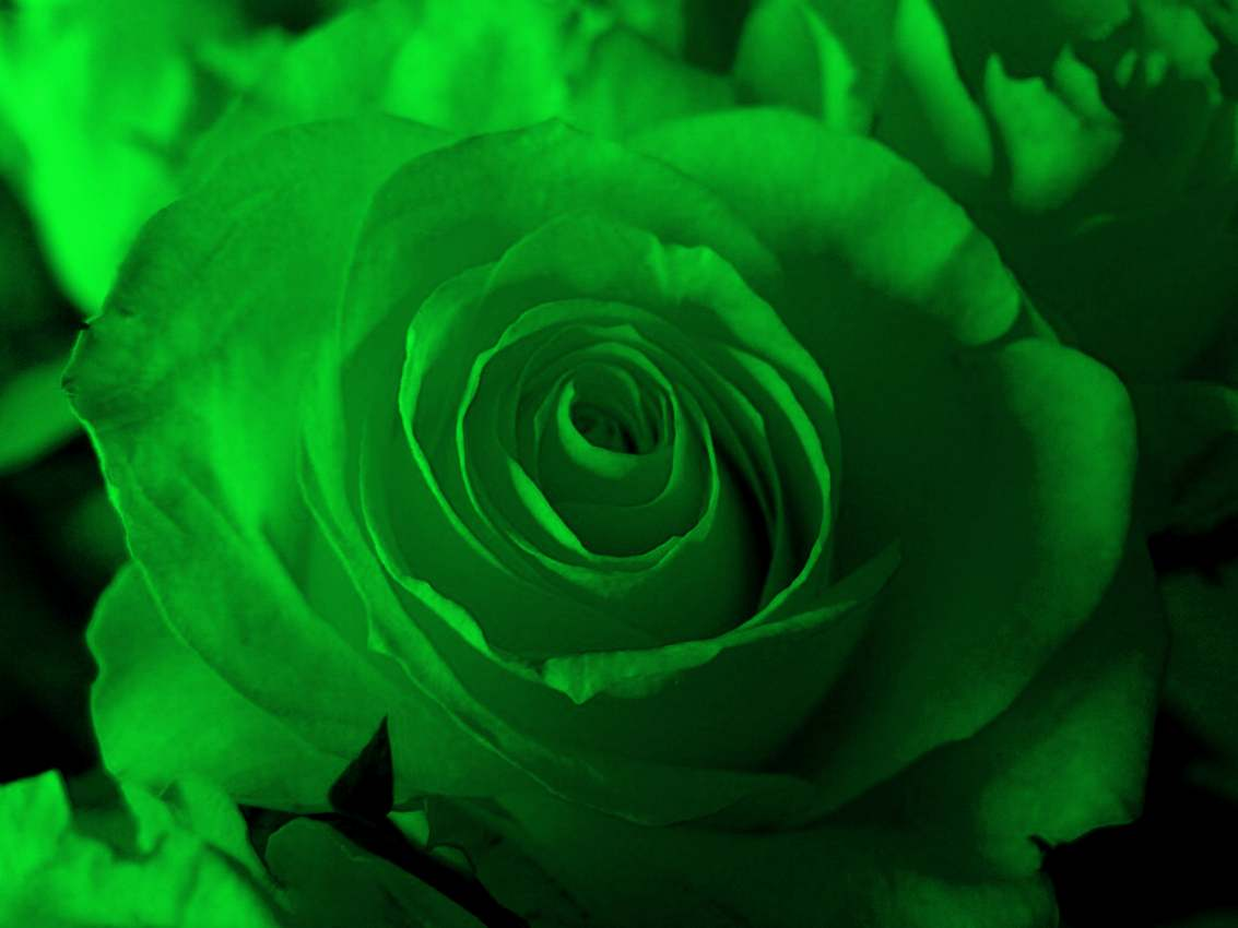 Green Rose flowers flowers