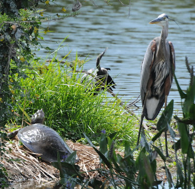 Great Blue Heron, Florida Softshell and Anhinga