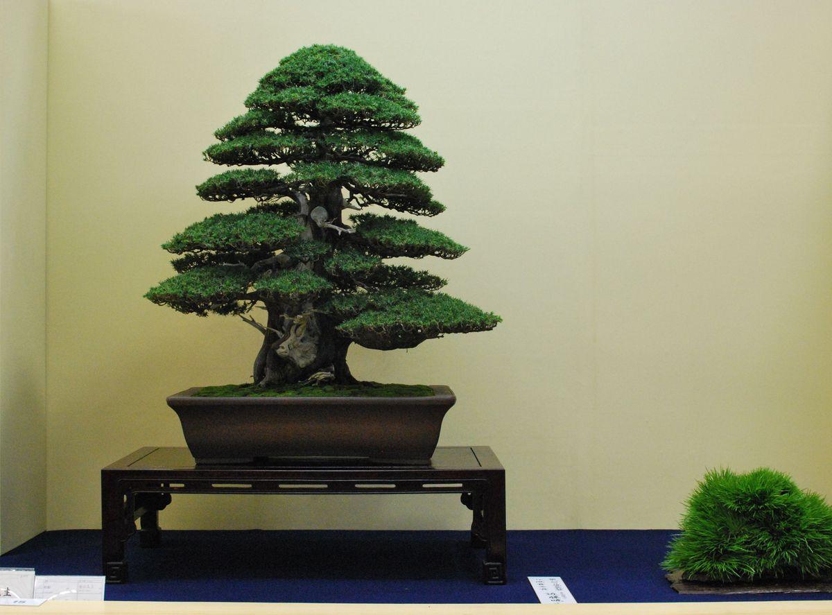 Bonsai Moravia Blog JAPAN 2015 12 TAIKAN TEN 2nd PART