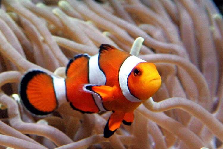 foto ikan nemo - gambar hewan - foto ikan nemo