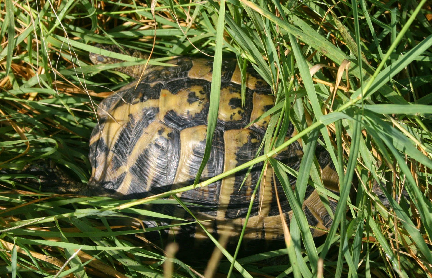 One of the tortoises, mid escape