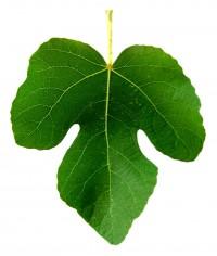 A fig leaf