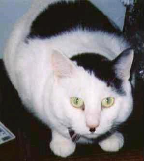 Fotos de gatos que se parecen a Hitler