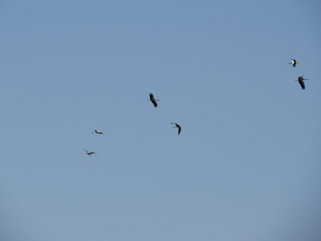 White Storks - Spain