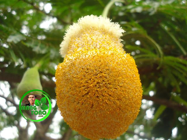 Cara agar pohon peuteuy / pete berbuah lebat dan tidak rontok.