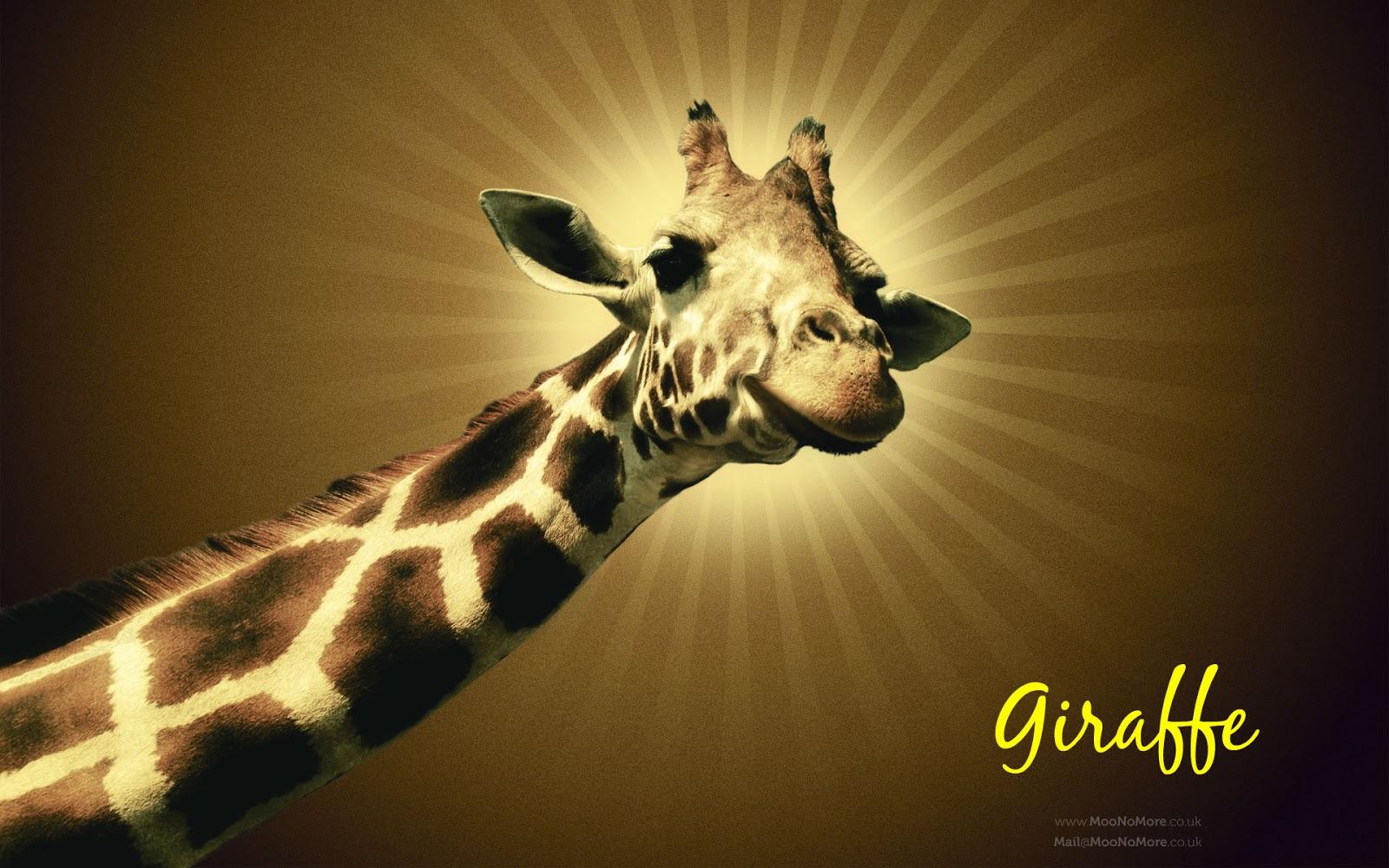 HD Wallpaper: Giraffe hd wallpapers