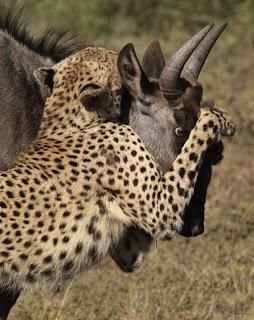 Động Vật Săn Mồi Ở Châu Phi