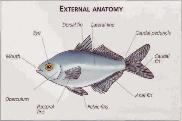 Jacksonville Aquarium and fishing reports: Aquarium: Fish (Anatomy ...