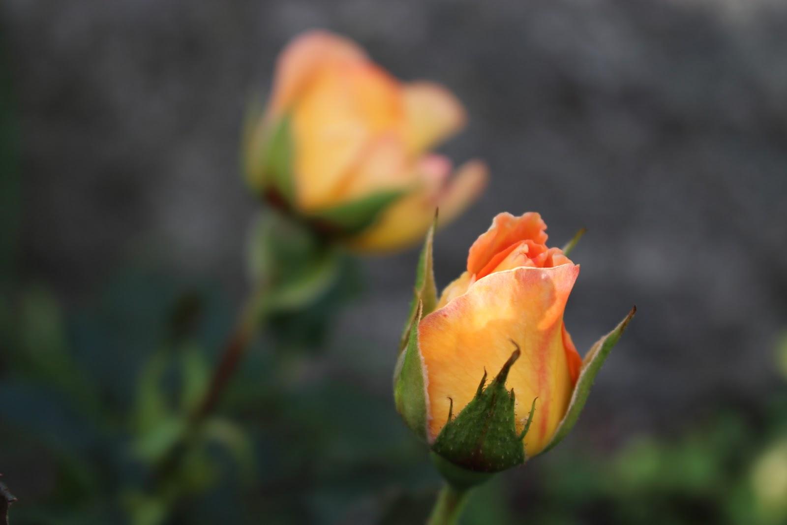 Trädgårdsblogg   rabarberbladet: whisky mac ros (tehybrid)