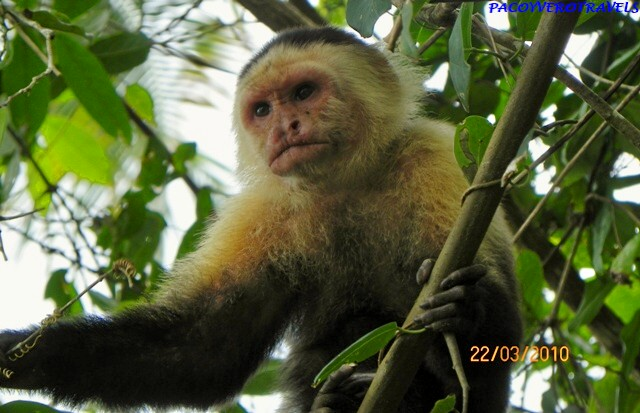 Mono capuchino en Cahuita