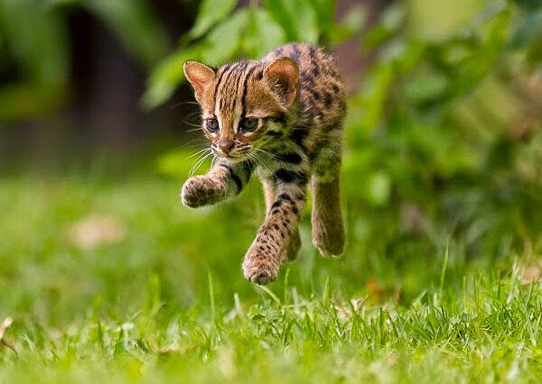 Funny animals of the week - 5 April 2014 (40 pics), baby ocelot picture