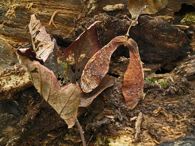 Sycamore seeds fallen on old felled tree