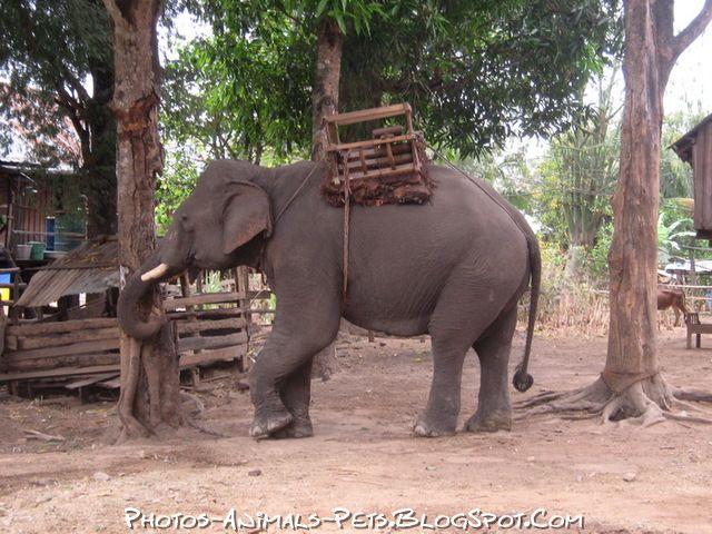 http://2.bp.blogspot.com/-JPVzPF3-alQ/Tt-HjltOXsI/AAAAAAAACgQ/HdT58V07oVM/s1600/Elephant%2Bpictures.jpg