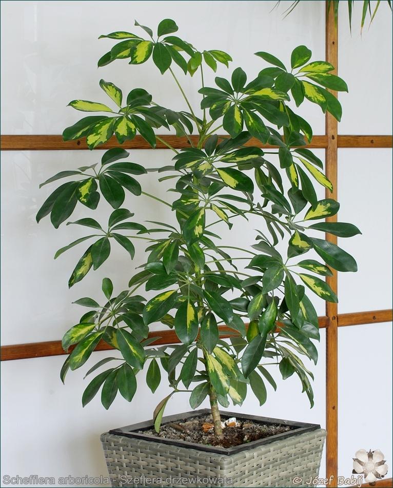 Schefflera arboricola - Szeflera drzewkowata pokrój
