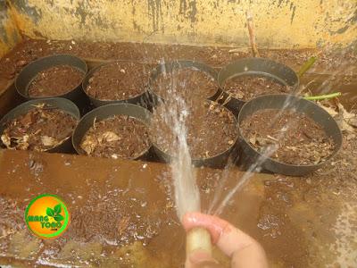 TO 6: Melakukan penyiraman semaian biji mangga