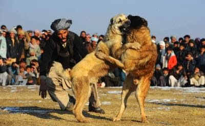 AFGHANISTAN-SOCIETY-DOG-FIGHT