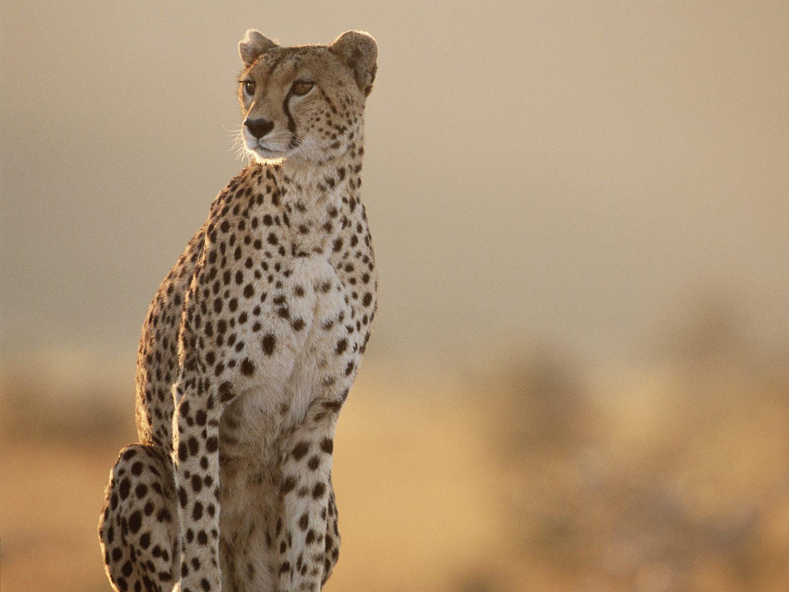 Beautiful Spotted Cheetah Acinonyx Jubatus Stock Image