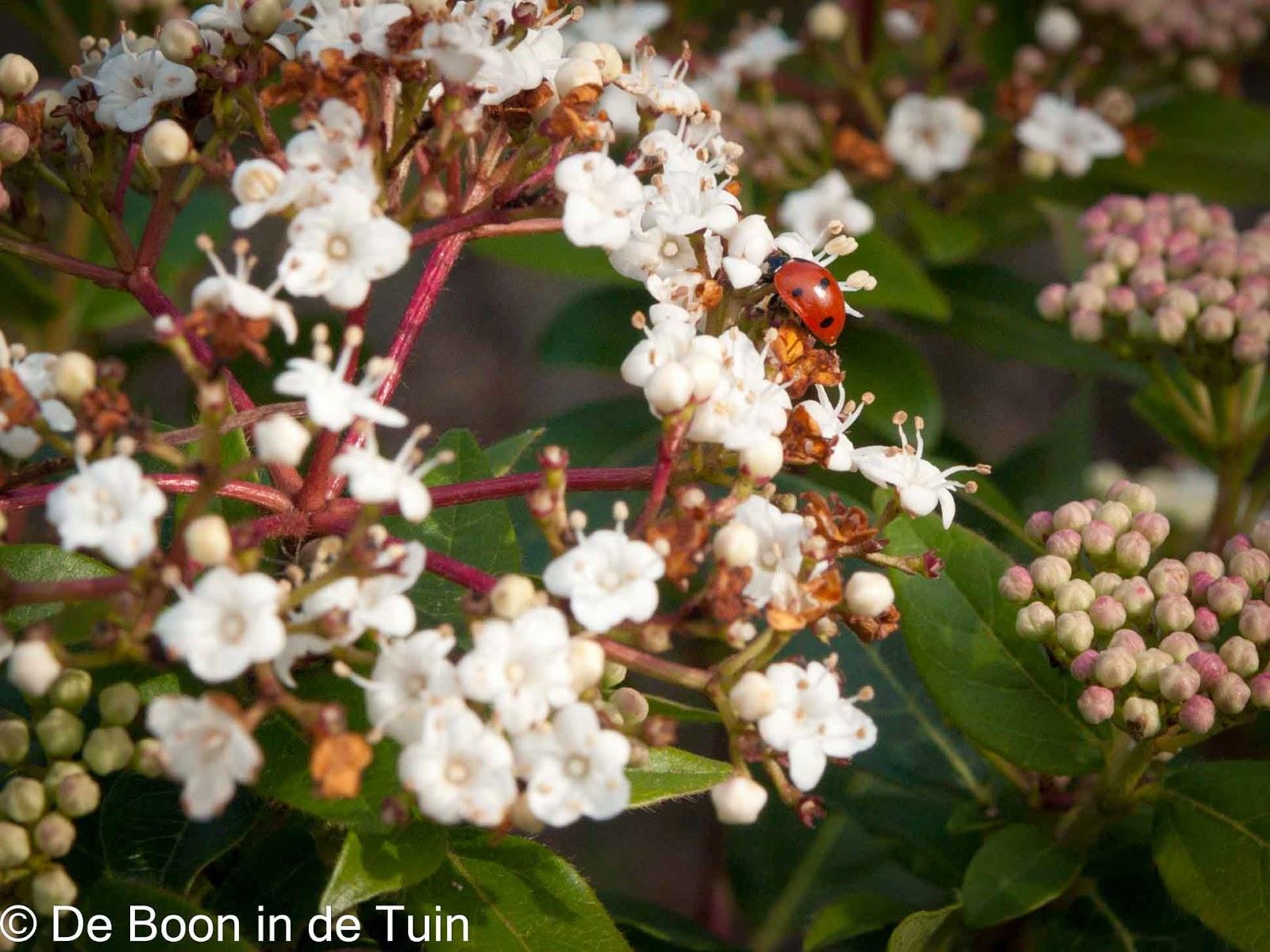 Viburnum tinus lente