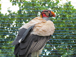 Galinazu Rey (King Vulture), Parque Summit Nacional