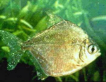 [Imagen: pez+con+Oodinium.jpg]