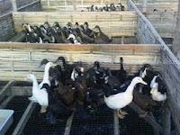 Rahasia Sukses Beternak Bebek Tik Tok (Itik Entok) Ala Pak Santosa Yang Paling Dahsyat