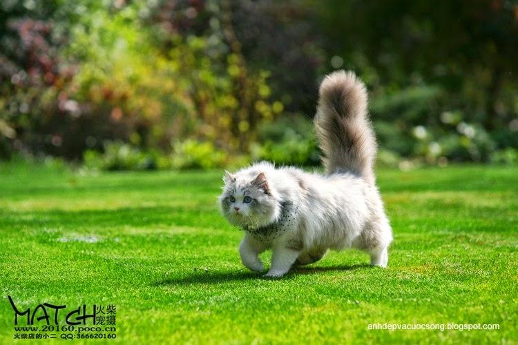 Tiểu thư mèo xinh đẹp 4