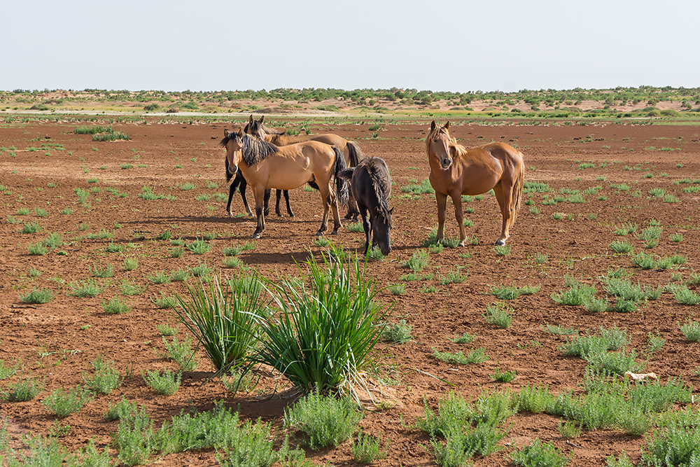 Dzikie konie na stepach w Mongolii