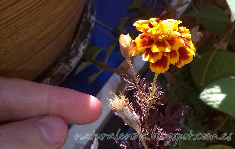 las semilla de los tagetes se encuentran en la parte seca del capuyo