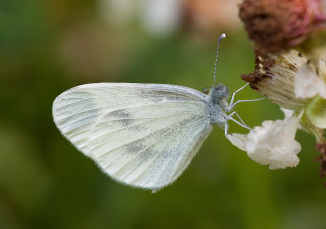 Wood White - Bury Ditches, Shropshire
