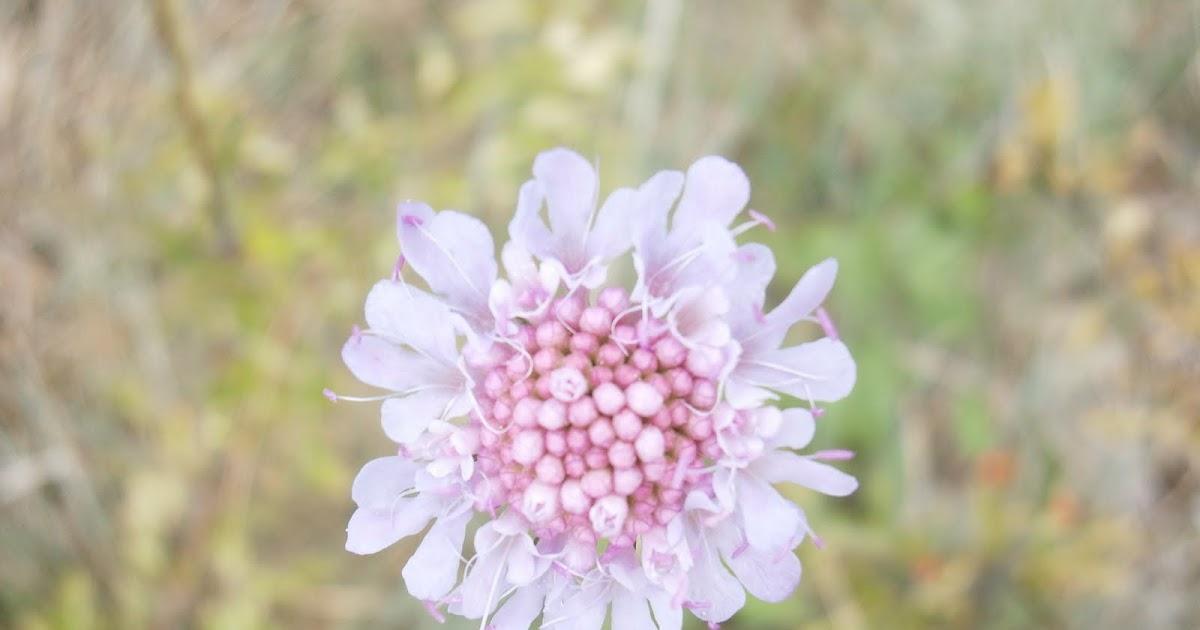 Plantes et fleurs de mon jardin scabieuse for Catalogue fleurs et plantes