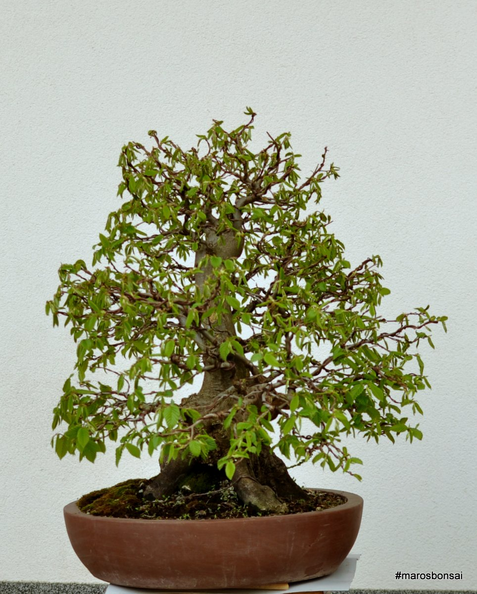 Maros Bonsai Blog Carpinus Betulus No11 QuotThe Yossarianquot Turning