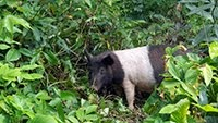 CUBAN PIG