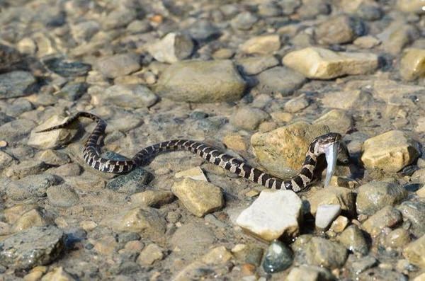Living Alongside Wildlife Snakes Eat Fish