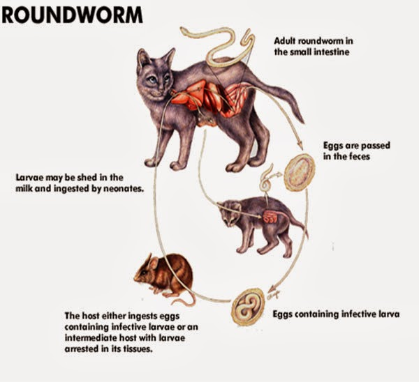 Can Cat Roundworms Live In Human Intestines