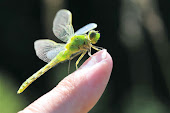 Western Pondhawk