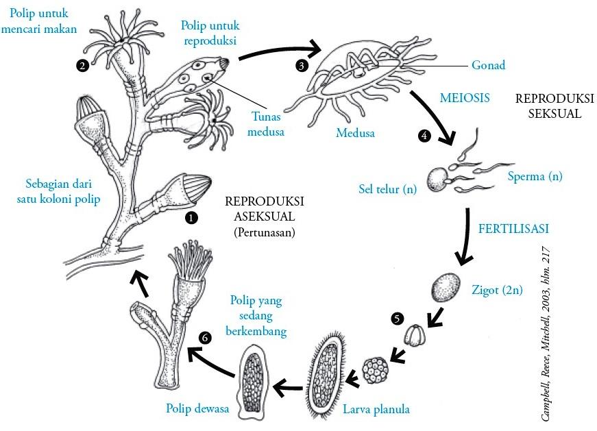 Filum Cnidaria (Coelenterata) : Pengertian, Ciri-ciri, Klasifikasi ...