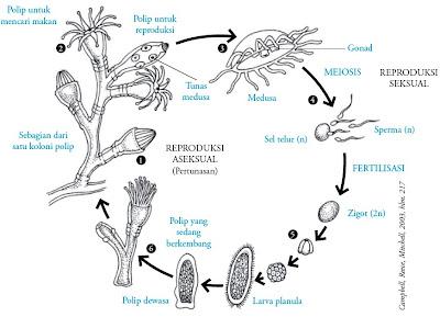 Siklus hidup Obelia sp.