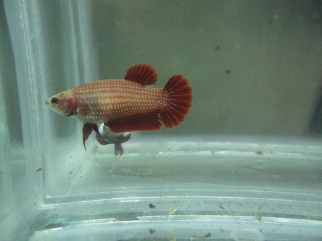 All about betta fish female betta high red halfmoon for All about fish