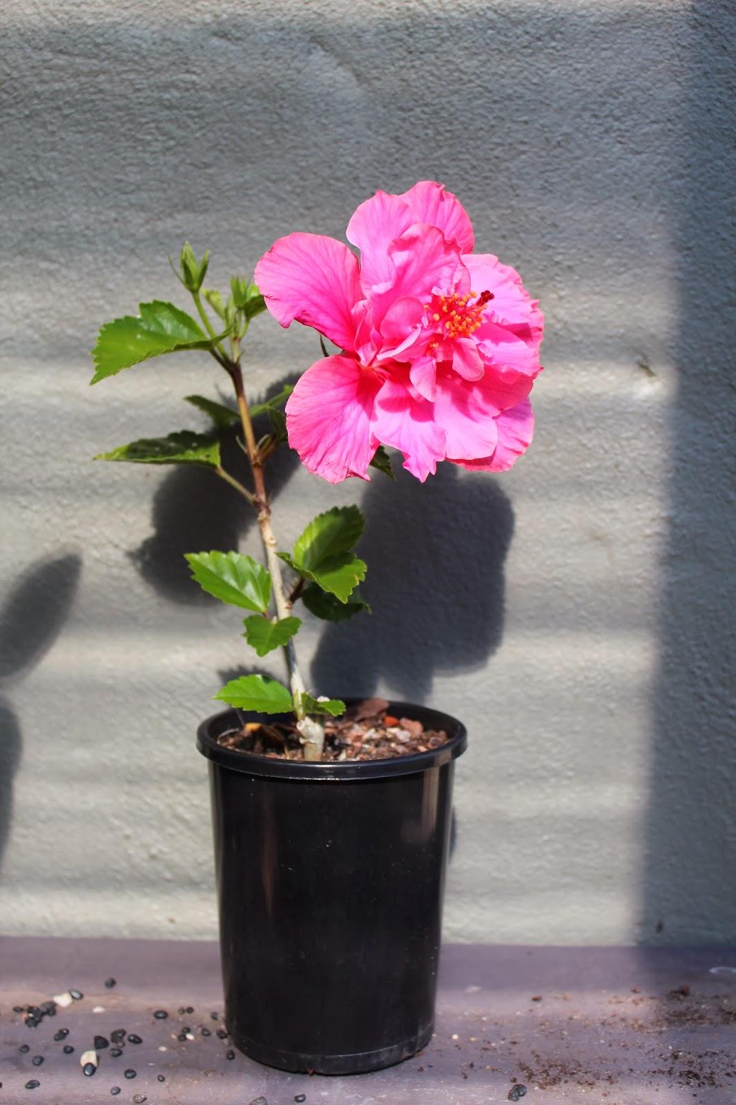 Florez Nursery Hibiscus Rosa Sinensis 39Powder Puff39