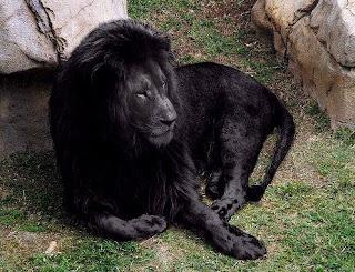 Melanismo: Leon negro