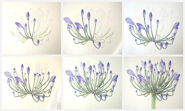 Shevaun Doherty Agapanthus botanical art