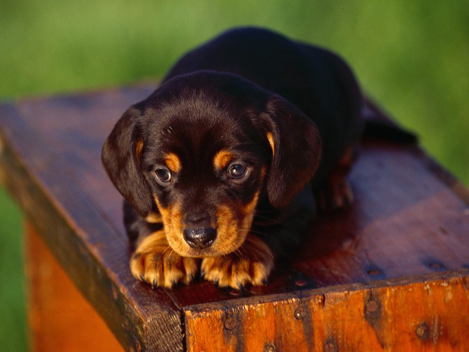 Dachshund German Shepherd Mix Puppies Dogs wallpapers